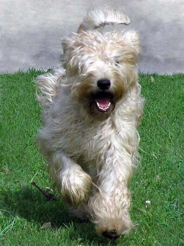 Aimee Aira Happy Wheaten 1
